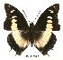 (Charaxes nobilis claudei - BC-EV0059)  @14 [ ] Unspecified (default): All Rights Reserved  Unspecified Unspecified