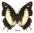 (Charaxes nobilis claudei - BC-EV0060)  @14 [ ] Unspecified (default): All Rights Reserved  Unspecified Unspecified