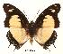 (Charaxes nobilis rosemariae - BC-EV0061)  @14 [ ] Unspecified (default): All Rights Reserved  Unspecified Unspecified