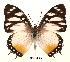 (Charaxes lydiae - BC-EV0064)  @14 [ ] Unspecified (default): All Rights Reserved  Unspecified Unspecified