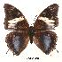 (Charaxes etheocles con02 - BC-EV0068)  @14 [ ] Unspecified (default): All Rights Reserved  Unspecified Unspecified