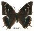(Charaxes chepalungu - BC-EV0079)  @14 [ ] Unspecified (default): All Rights Reserved  Unspecified Unspecified