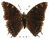 (Charaxes fionae02 - BC-EV0080)  @14 [ ] Unspecified (default): All Rights Reserved  Unspecified Unspecified
