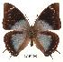 (Charaxes gerdae - BC-EV0091)  @14 [ ] Unspecified (default): All Rights Reserved  Unspecified Unspecified