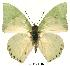 (Charaxes eupale - BC-EV0115)  @14 [ ] Unspecified (default): All Rights Reserved  Unspecified Unspecified