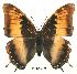 (Charaxes galawadiwosi - BC-EV0138)  @14 [ ] Unspecified (default): All Rights Reserved  Unspecified Unspecified