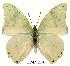 (Charaxes subornatus subornatus - BC-EV0140)  @14 [ ] Unspecified (default): All Rights Reserved  Unspecified Unspecified