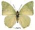 (Charaxes minor minor - BC-EV0153)  @14 [ ] Unspecified (default): All Rights Reserved  Unspecified Unspecified