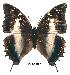 (Charaxes usambarae usambarae - BC-EV0159)  @14 [ ] Unspecified (default): All Rights Reserved  Unspecified Unspecified