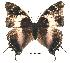 (Charaxes usambarae usambarae - BC-EV0160)  @14 [ ] Unspecified (default): All Rights Reserved  Unspecified Unspecified