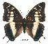 (Charaxes petersi - BC-EV0165)  @14 [ ] Unspecified (default): All Rights Reserved  Unspecified Unspecified