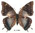 (Charaxes williami - BC-EV0169)  @14 [ ] Unspecified (default): All Rights Reserved  Unspecified Unspecified