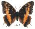 (Charaxes basquini - BC-EV0179)  @14 [ ] Unspecified (default): All Rights Reserved  Unspecified Unspecified