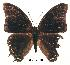 (Charaxes loandae - BC-EV0180)  @13 [ ] Unspecified (default): All Rights Reserved  Unspecified Unspecified