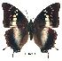 (Charaxes usambarae maridadi - BC-EV0188)  @14 [ ] Unspecified (default): All Rights Reserved  Unspecified Unspecified