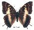 (Charaxes congdoni - BC-EV0191)  @14 [ ] Unspecified (default): All Rights Reserved  Unspecified Unspecified