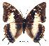 (Charaxes contrarius - BC-EV0200)  @14 [ ] Unspecified (default): All Rights Reserved  Unspecified Unspecified