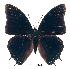 (Charaxes etheocles ang01 - BC-EV0220)  @13 [ ] Unspecified (default): All Rights Reserved  Unspecified Unspecified