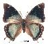 (Charaxes howarthi kat01 - BC-EV0228)  @14 [ ] Unspecified (default): All Rights Reserved  Unspecified Unspecified