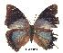 (Charaxes chintechi kat01 - BC-EV0229)  @13 [ ] Unspecified (default): All Rights Reserved  Unspecified Unspecified