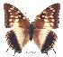 (Charaxes catachrous01 - BC-EV0236)  @14 [ ] Unspecified (default): All Rights Reserved  Unspecified Unspecified