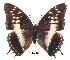 (Charaxes etheocles gui01 - BC-EV0247)  @14 [ ] Unspecified (default): All Rights Reserved  Unspecified Unspecified