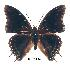 (Charaxes cedreatis ang01 - BC-EV0273)  @14 [ ] Unspecified (default): All Rights Reserved  Unspecified Unspecified