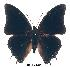 (Charaxes turlini - BC-EV0282)  @13 [ ] Unspecified (default): All Rights Reserved  Unspecified Unspecified