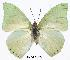 (Charaxes dilutus dilutus - BC-EV0290)  @14 [ ] Unspecified (default): All Rights Reserved  Unspecified Unspecified