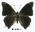 (Charaxes chintechi - BC-EV0296)  @14 [ ] Unspecified (default): All Rights Reserved  Unspecified Unspecified