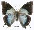 (Charaxes phaeus - BC-EV0301)  @14 [ ] Unspecified (default): All Rights Reserved  Unspecified Unspecified
