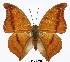 (Charaxes nichetes leoninus - BC-EV0306)  @13 [ ] Unspecified (default): All Rights Reserved  Unspecified Unspecified