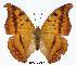 (Charaxes nichetes leoninus - BC-EV0307)  @13 [ ] Unspecified (default): All Rights Reserved  Unspecified Unspecified
