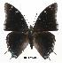 (Charaxes viola viola - BC-EV0315)  @14 [ ] Unspecified (default): All Rights Reserved  Unspecified Unspecified