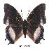 (Charaxes baumanni interposita - BC-EV0340)  @14 [ ] Unspecified (default): All Rights Reserved  Unspecified Unspecified