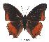 (Charaxes anticlea - BC-EV0356)  @14 [ ] Unspecified (default): All Rights Reserved  Unspecified Unspecified