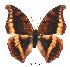 (Charaxes nichetes ssese - BC-EV0369)  @14 [ ] Unspecified (default): All Rights Reserved  Unspecified Unspecified