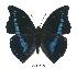 (Charaxes porthos gallayi - BC-EV0372)  @14 [ ] Unspecified (default): All Rights Reserved  Unspecified Unspecified
