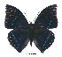 (Charaxes zelica zelica - BC-EV0380)  @14 [ ] Unspecified (default): All Rights Reserved  Unspecified Unspecified