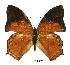 (Charaxes paphianus falcata - BC-EV0389)  @13 [ ] Unspecified (default): All Rights Reserved  Unspecified Unspecified