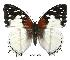 (Charaxes hadrianus - BC-EV0390)  @14 [ ] Unspecified (default): All Rights Reserved  Unspecified Unspecified