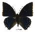 (Charaxes tiridates tiridatinus - BC-EV0400)  @14 [ ] Unspecified (default): All Rights Reserved  Unspecified Unspecified