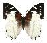(Charaxes hadrianus - BC-EV0403)  @14 [ ] Unspecified (default): All Rights Reserved  Unspecified Unspecified