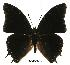 (Charaxes oubangiensis gab01 - BC-EV0418)  @14 [ ] Unspecified (default): All Rights Reserved  Unspecified Unspecified