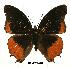 (Charaxes anticlea proadusta - BC-EV0428)  @13 [ ] Unspecified (default): All Rights Reserved  Unspecified Unspecified