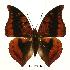 (Charaxes nichetes nichetes - BC-EV0429)  @14 [ ] Unspecified (default): All Rights Reserved  Unspecified Unspecified