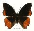 (Charaxes anticlea proadusta - BC-EV0430)  @13 [ ] Unspecified (default): All Rights Reserved  Unspecified Unspecified