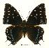 (Charaxes etesipe etesipe - BC-EV0444)  @13 [ ] Unspecified (default): All Rights Reserved  Unspecified Unspecified