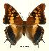(Charaxes guderiana guderiana - BC-EV0445)  @14 [ ] Unspecified (default): All Rights Reserved  Unspecified Unspecified