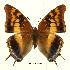 (Charaxes guderiana guderiana - BC-EV0446)  @14 [ ] Unspecified (default): All Rights Reserved  Unspecified Unspecified